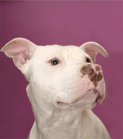 Dog against coloured background, close-up Stock Photo - Premium Royalty-Free, Code: 6106-05478843