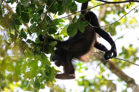 Female mantled howler monkey, Alouatta palliata, hanging by her prehensile tail while feeding on tree leaves in the forest canopy. Barro Colorado Island, Barro Colorado Nature Monument, Panama. Stock Photo - Premium Royalty-Free, Code: 6106-05487961