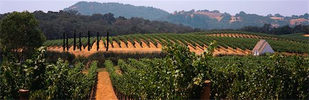 Rows of grapevines with small building Stock Photo - Premium Royalty-Free, Code: 6106-05493261