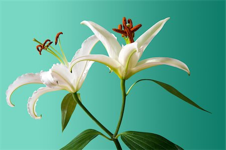 Lilies isolated Stock Photo - Premium Royalty-Free, Code: 6106-05496392