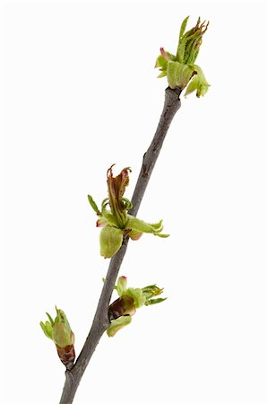 Cherry twig Stock Photo - Premium Royalty-Free, Code: 6106-05402460