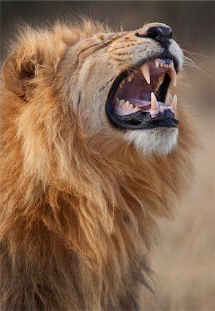roar lion head picture - Lion Stock Photo - Premium Royalty-Free, Code: 6106-05403361