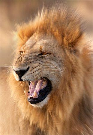 Lion Stock Photo - Premium Royalty-Free, Code: 6106-05403364