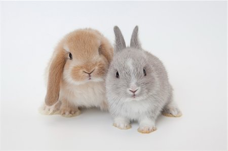 Two rabbits.Netherland Dwarf and Holland Lop. Stock Photo - Premium Royalty-Free, Code: 6106-05404848