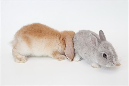 Two rabbits.Netherland Dwarf and Holland Lop. Stock Photo - Premium Royalty-Free, Code: 6106-05404861