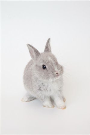 A baby rabbit.Netherland Dwarf. Stock Photo - Premium Royalty-Free, Code: 6106-05404871