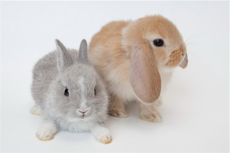 Two rabbits.Netherland Dwarf and Holland Lop. Stock Photo - Premium Royalty-Free, Code: 6106-05404872