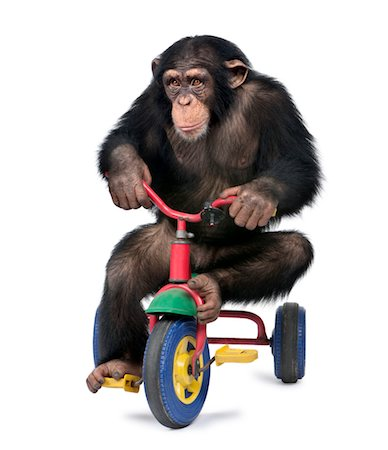 Young Chimpanzee playing on a bicycle Stock Photo - Premium Royalty-Free, Code: 6106-05405086