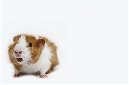 Guinea pig against a white background Stock Photo - Premium Royalty-Free, Code: 6106-05405556