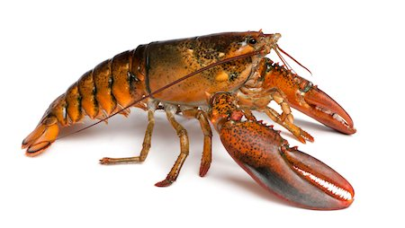 American lobster - Homarus americanus Stock Photo - Premium Royalty-Free, Code: 6106-05407446