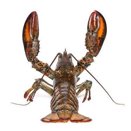 American lobster - Homarus americanus Stock Photo - Premium Royalty-Free, Code: 6106-05407448