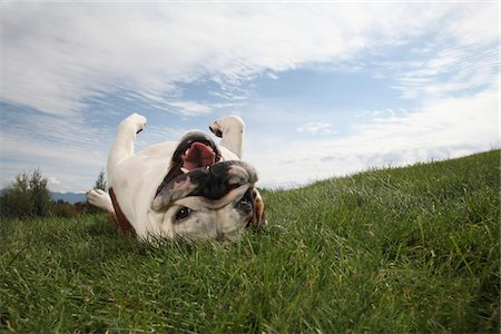 roll (people and animals rolling around) - portrait of happy bull dog rolling in grass Stock Photo - Premium Royalty-Free, Code: 6106-05407788