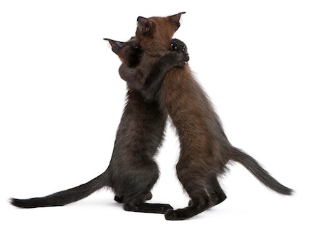 Two black kitten playing together Stock Photo - Premium Royalty-Free, Code: 6106-05407898