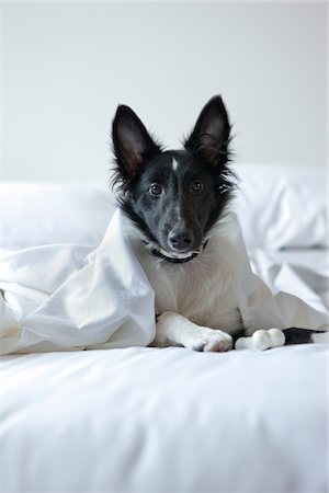 sheltie - Black and white puppy in bed Stock Photo - Premium Royalty-Free, Code: 6106-05408114