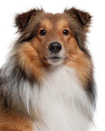 sheltie - Shetland Sheepdog (5 years old) Stock Photo - Premium Royalty-Free, Code: 6106-05409865
