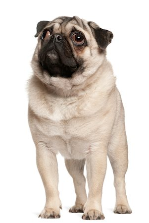 pvg - Pug (13 months old) looking up Stock Photo - Premium Royalty-Free, Code: 6106-05410638