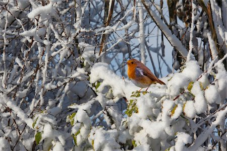 Robin in winter snow Stock Photo - Premium Royalty-Free, Code: 6106-05415877