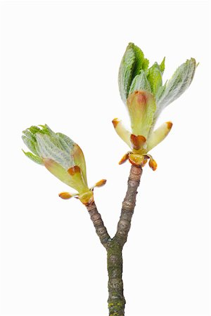 Horse Chestnut bud in Spring. Stock Photo - Premium Royalty-Free, Code: 6106-05417392