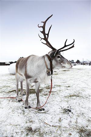 reindeer in snow - Reindeer ( caribou ) in Lapland Stock Photo - Premium Royalty-Free, Code: 6106-05419365