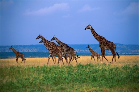 serengeti national park - Giraffe family walking across green grass savannah Stock Photo - Premium Royalty-Free, Code: 6106-05425120