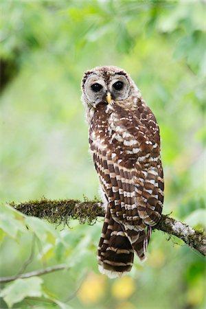 Barred Owl Stock Photo - Premium Royalty-Free, Code: 6106-05425344
