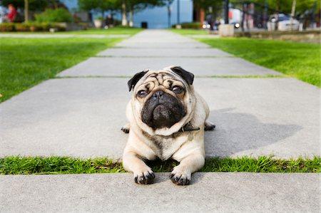 pvg - Pug on walkway Stock Photo - Premium Royalty-Free, Code: 6106-05428797