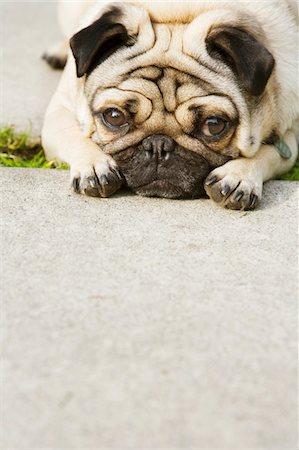 pvg - Pug on walkway Stock Photo - Premium Royalty-Free, Code: 6106-05428799