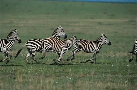 Common zebras (Equus burchelli) running, Masai Mara N.R, Kenya Stock Photo - Premium Royalty-Free, Code: 6106-05566180