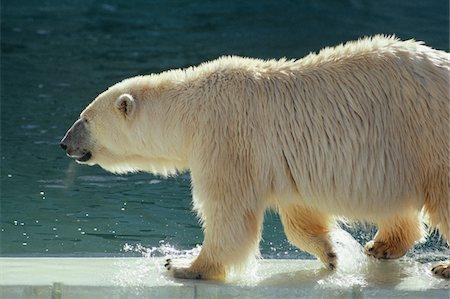 Polar bear walking in shallow water, Calgary, Canada, side view Stock Photo - Premium Royalty-Free, Code: 6106-05580196