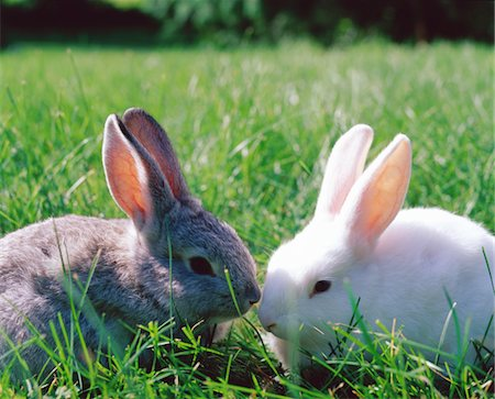 Grey and white rabbits on grass Stock Photo - Premium Royalty-Free, Code: 6106-05583580