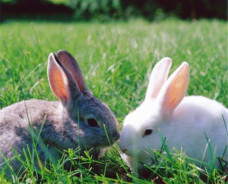 Grey and white rabbits on grass Stock Photo - Premium Royalty-Free, Code: 6106-05583580