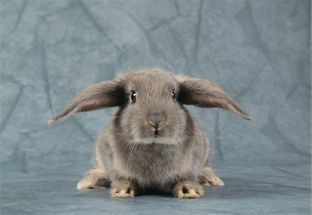 Grey Rabbit, Studio Shot Stock Photo - Premium Royalty-Free, Code: 6106-05594487
