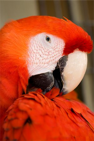 Macaw, close-up of head Stock Photo - Premium Royalty-Free, Code: 6106-05502016