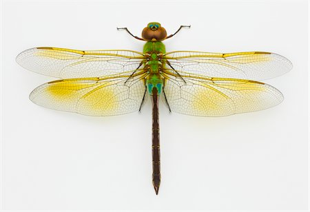 dragon fly - Green darner (Anax junius) on white background, overhead view Stock Photo - Premium Royalty-Free, Code: 6106-05503365