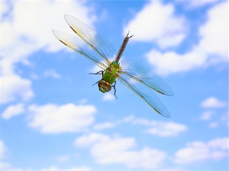 dragon fly - Green darner (Anax junius) flying against clouds Stock Photo - Premium Royalty-Free, Code: 6106-05503372