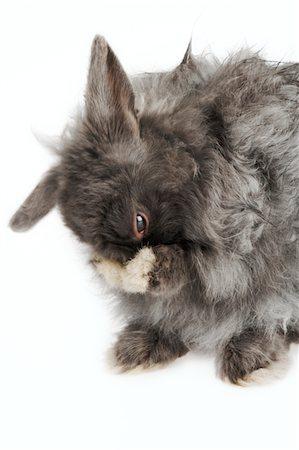 French Angora rabbit grooming, studio shot Stock Photo - Premium Royalty-Free, Code: 6106-05504723