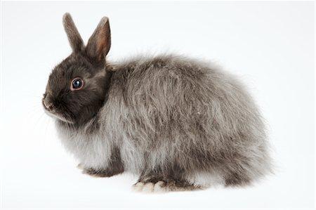 French Angora rabbit, studio shot Stock Photo - Premium Royalty-Free, Code: 6106-05504721