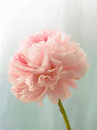 peony - Pink peony (Paeonia lactiflora) against light blue background, close-up Stock Photo - Premium Royalty-Free, Code: 6106-05511347
