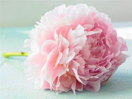 peony - Detail of pink peony (Paeonia lactiflora) Stock Photo - Premium Royalty-Free, Code: 6106-05511346