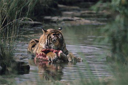 Tiger (Panthera tigris) lying down in shallow water, eating kill, Rajasthan, India Stock Photo - Premium Royalty-Free, Code: 6106-05532752