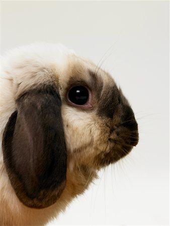 Rabbit, close-up, side view Stock Photo - Premium Royalty-Free, Code: 6106-05534975