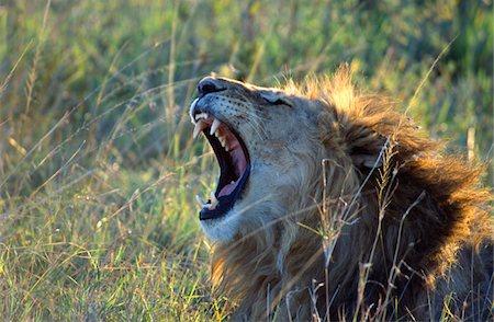 roar lion head picture - Lion roaring Stock Photo - Premium Royalty-Free, Code: 6106-05536173