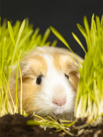 Guinea pig amongst grass, close-up Stock Photo - Premium Royalty-Free, Code: 6106-05537462