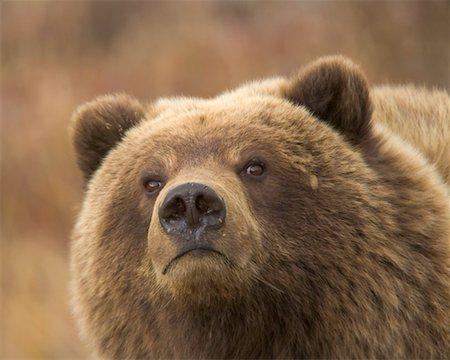 USA, Alaska, Denali National Park, brown bear (Ursus arctos) cub Stock Photo - Premium Royalty-Free, Code: 6106-05539430