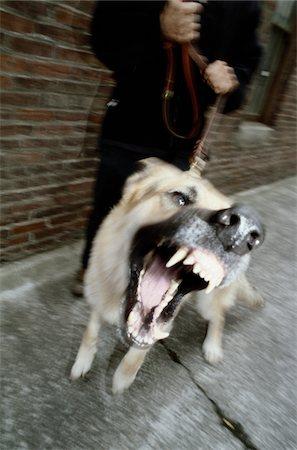 Angry Dog, Barking Stock Photo - Premium Royalty-Free, Code: 6106-05626158
