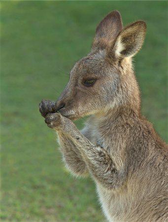 Eastern Grey kangaroo male joey nibbling on grass Stock Photo - Premium Royalty-Free, Code: 6106-05758805
