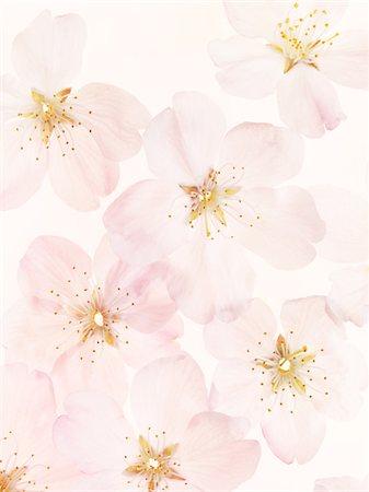 flower graphic - Cherry Blossoms Stock Photo - Premium Royalty-Free, Code: 6106-05810359