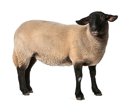 domestic sheep - Female Suffolk sheep - Ovis aries (2 years old) Stock Photo - Premium Royalty-Free, Code: 6106-05952231