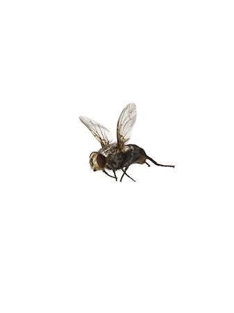 fly - common housefly flying on white Stock Photo - Premium Royalty-Free, Code: 6106-05978282