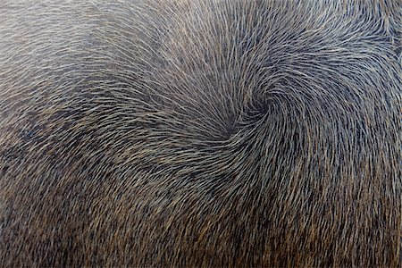 fur - Carabao hair, Chiang Mai, Thaliand Stock Photo - Premium Royalty-Free, Code: 6106-06042686